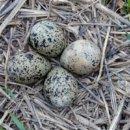 Польза перепелинных яиц